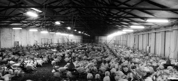 Освещение для птицефабрик – история развития