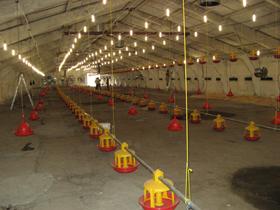Светодиодное освещение для птицефабрики — надежность системы в целом