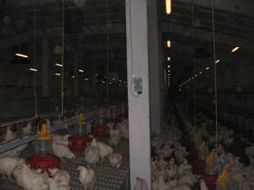 Регулируемое освещение: как управлять яркостью светильников в птичнике.