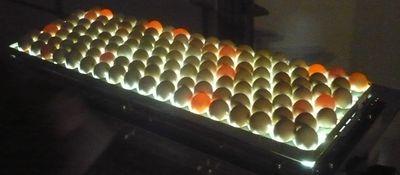 Миражирование яиц для определения неоплода.