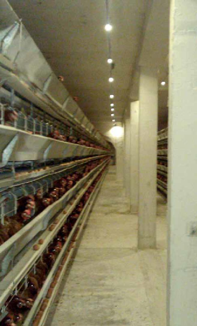 LED освещение для птицефабрик
